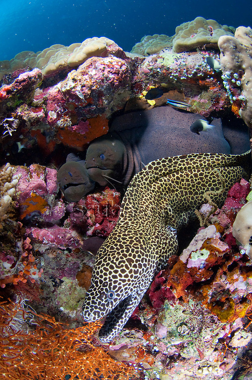 Honeycomb Moray, Gymnothorax favagineus, and pair of Giant Morays, Gymnothorax javanicus, all crowded in same crevice, North Male Atoll, Maldives