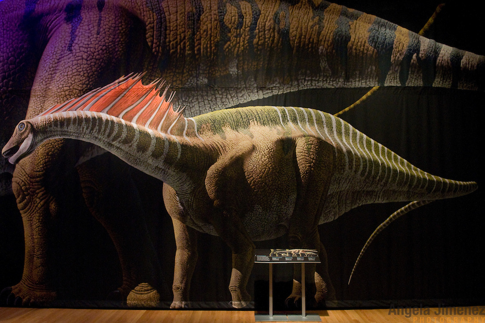 """20110411AJ  ..""""The World's Largest Dinosaurs,"""" a forthcoming exhibit about sauropods is photographed at The American Museum of Natural History in New York City on April 11, 2011.  A mural on the wall pictures a Amargasaurus cazaui....photo by Angela Jimenez/ for The Star-Ledger ...."""