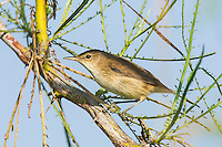 African Reed Warbler, Limpopo floodplain, Maputo Province, Mozambique