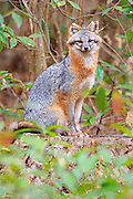 Grey fox, Point Harbor North Carolina. .We heard this howling raucous and noticed three young foxes run through the backyard. That evening this guy was limping around, the tips of his ears were nipped off. He must have been involved in the fight that scared the three younger foxes. I was able to get this shot while he recovered in our back yard.