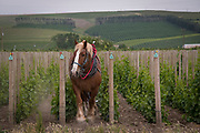 Cultivating the narrow vineyard rows with Red, the gentle giant draft horse, Horsepower, Walla Walla AVA, Milton-Freewater, Oregon