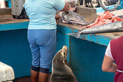 Sea lion waiting for a scrap of fish at a market in Puerto Ayora, Santa Cruz Island, Galapagos Islands, Ecuador.