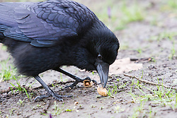 © Licensed to London News Pictures. 10/03/2013. London, UK. A wild raven is seen living in Wapping Woods, East London and opens a peanut. Wild ravens have not been seen in London since around 1850. The identity of the bird, believed to be a female, was confirmed on 10 March 2013 by Chris Skaife, the Ravenmaster at the nearby Tower of London and Nathan Emery, a lecturer and biology researcher into 'feathered apes' at Queen Mary College, University of London. The bird, has been nicknamed Veronica by local residents and some now believe they first saw the raven in the area in 2012 although the significance of a wild raven in London living outside the Tower of London was not realised at the time. Photo credit : Vickie Flores/LNP