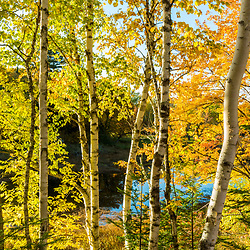 Paper birch trees on the banks of the East Branch of the Penobscot River in Maine's Northern Forest. Fall.
