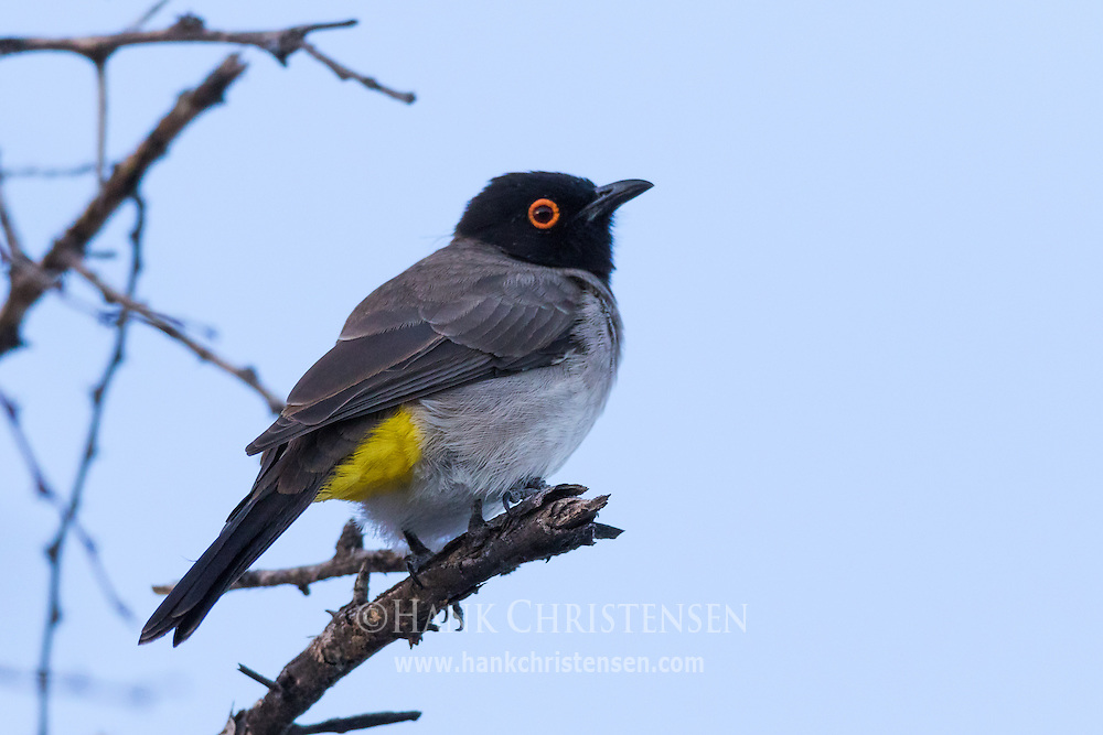 A redeyed bulbul perches on a brach in the waning light, Etosha National Park, Namibia.