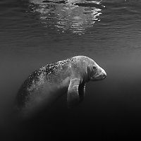 West Indian Manatee (Trichechus manatus) floating at water surface, Florida