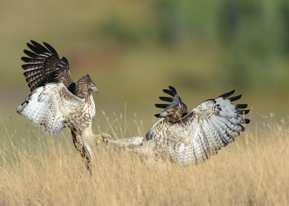 Two juvenile Red-tailed Hawks (Buteo jamaicensis) fight on a hillside, National Bison Range, Montana