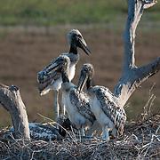 Jabiru Stork Nest near the Santa Tereza lodge, Pantanal, Brazil
