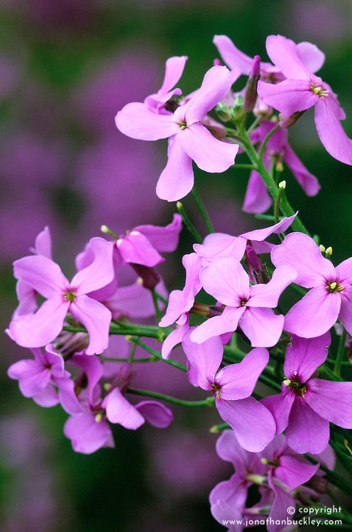 Hesperis matronalis - sweet rocket, Dame's violet