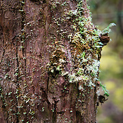 Detail of moss on tree trunk at Cradle Mountain, Tasmania