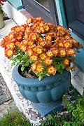 Pot of beautiful orange flowers.  St Paul  Minnesota USA