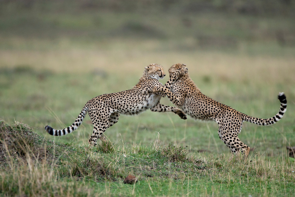 Africa, Kenya, Masai Mara Game Reserve,  Two adolescent Cheetah (Acinonyx jubatas) collide while playing on savanna