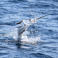 White Marlin jumping towards the boat, offshore Lobito, Angola. The picture clearly shows the bait (ballyhoo) in the mouth of the fish. A Remora is attached to the Marlin's side!