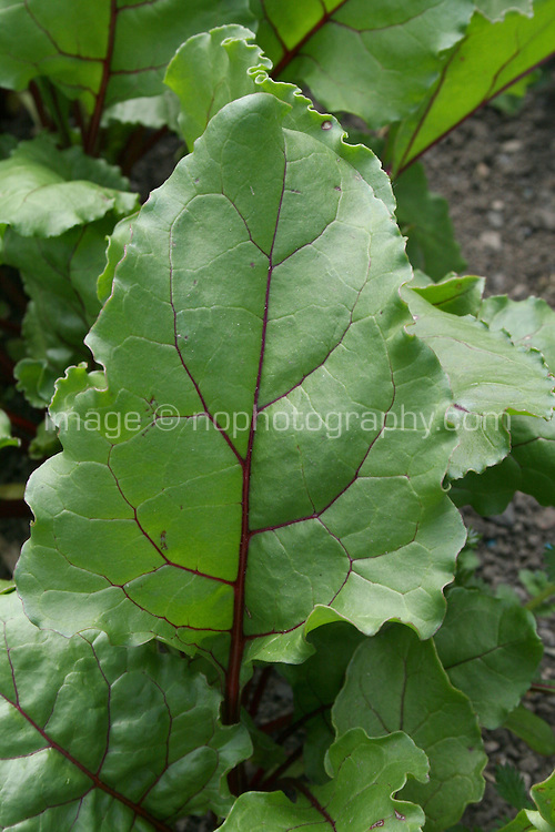 Beetroot plant, Boltardy variety