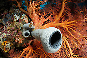 Tube Sponge (Cribrochalina sp.). Raja Ampat, West Papua, Indonesia, Pacific Ocean