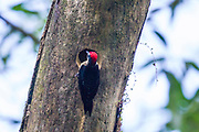 Black-cheeked woodpecker; Melanerpes pucherani; nesthole; Costa Rica; Sarapiqui