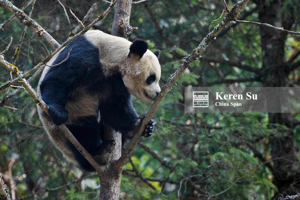Giant panda on tree, Wolong Panda Reserve, Sichuan, China