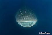 whale shark, Rhincodon typus, passes between two clouds of spawn with mouth open while filter-feeding on eggs of cubera snappers, Gladden Spit & Silk Cayes Marine Reserve, off Placencia, Belize, Central America ( Caribbean Sea )