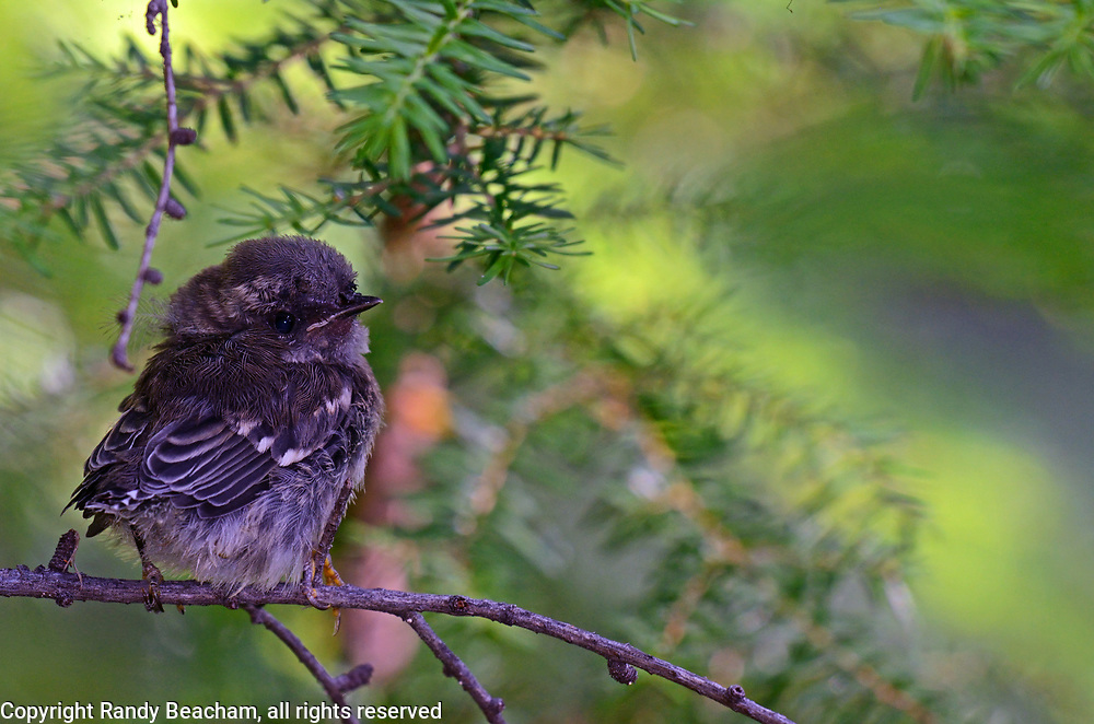 Newly fledged Townsend's warbler chick in an old-growth western larch forest waiting to be fed by its mother. Yaak Valley in the Purcell Mountains, northwest Montana.