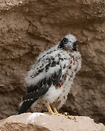 Nestling peregrine falcon on a boulder in a cave of his own choosing at the base of the cliff.  He had been prematurely fledged with all his siblings and was the sole survivor, here about 4 weeks old .  Fed and watched over by his parents, he searched for a higher perch during the day, then back to a cave at the base of the cliff at night or to get out of hot sunlight. © 2015 David A. Ponton [Prints to 8x10, 16x20, 24x30, or 40x50 in. with no cropping]