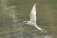 Arctic Tern (Sterna paradisaea) preparing to land at Tern Lake in Southcentral Alaska. Spring. Afternoon.