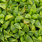 &quot;Bundles of Beauty&quot;<br /> <br /> This lovely image is a variety of succulent known as Haworthia, or Haworthia Nitidula.<br /> For succulent lovers, green lovers or lovers of abstracts in nature this image is for you!!<br /> <br /> Nature of this World by Rachel Cohen