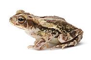 Gulf Coast Toad (Incilius nebulifer)<br /> TEXAS: Val Verde Co.<br /> Devils River at Dolan Falls; 13.3 mi W of Loma Alta<br /> 16-18.IX.2011N29.88531 W100.99407<br /> J.C. Abbott #2544