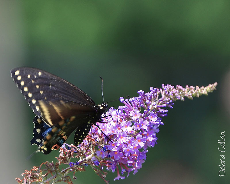 Black Swallowtail Butterfly feeding on a butterfly bush.