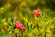 Mountain ash berries had begun to ripen along the Pacific Crest Trail.