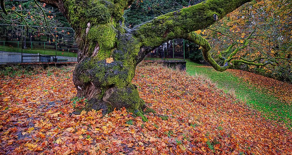 Oak tree at the tennis courts, Mount Tabor Park, Portland, Oregon, USA.
