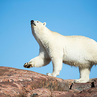 Canada, Nunavut Territory, Repulse Bay,  Polar Bear (Ursus maritimus) sniffs while walking along Harbour Islands near Arctic Circle