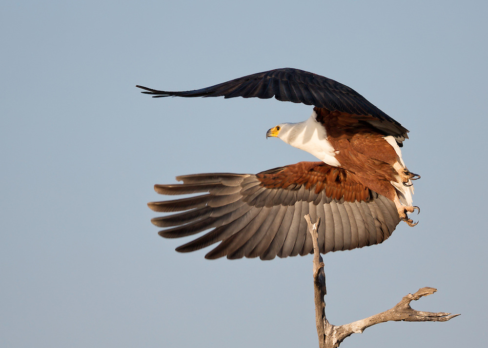 African fish eagle takes fligh in the early morning on the shores of Lake Kariba, Zimbabwe