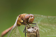 Extreme closeup of the head of a male Common Darter dragonfly.