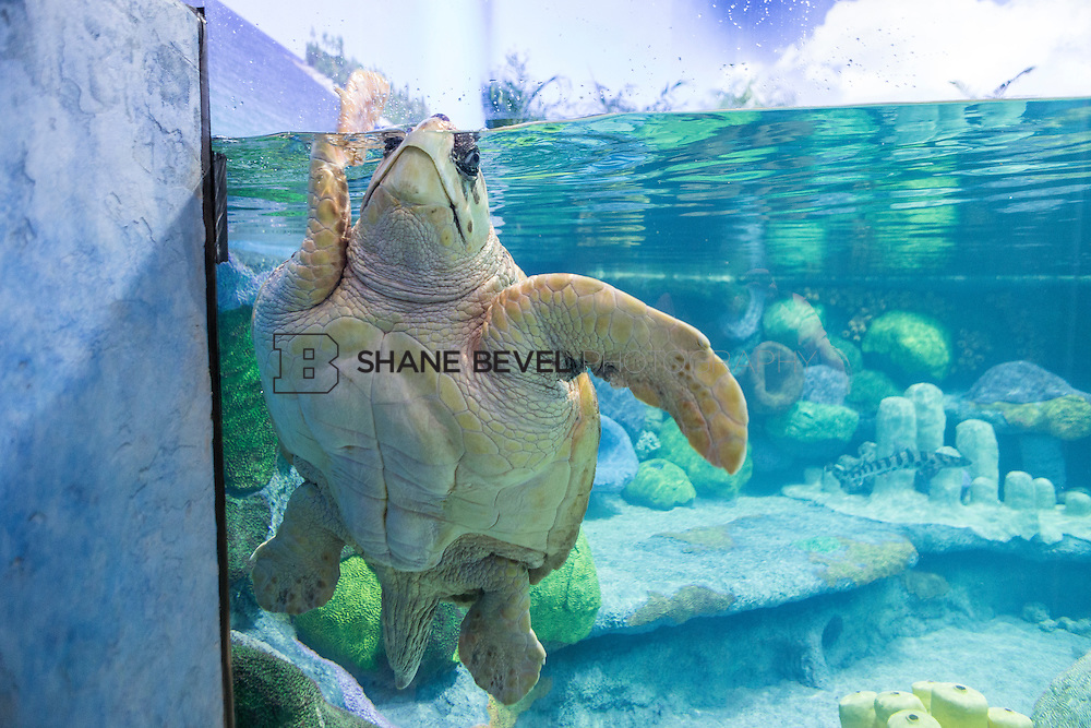 3/2/17 11:00:05 AM -- The ribbon cutting and grand opening of the new sea turtle exhibit at the Oklahoma Aquarium in Jenk, Okla. <br /> <br /> Photo by Shane Bevel