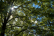 Sunlight through the leaves and branches of a deciduous Common Ash tree - Fraxinus - on a sunny warm day in Springtime in the Cotswolds, UK