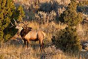 Bull elk bugling during the autumn rut