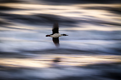 Imperial Shag (Leucocarbo atriceps)  at sunset in Punta Arenas, Chile