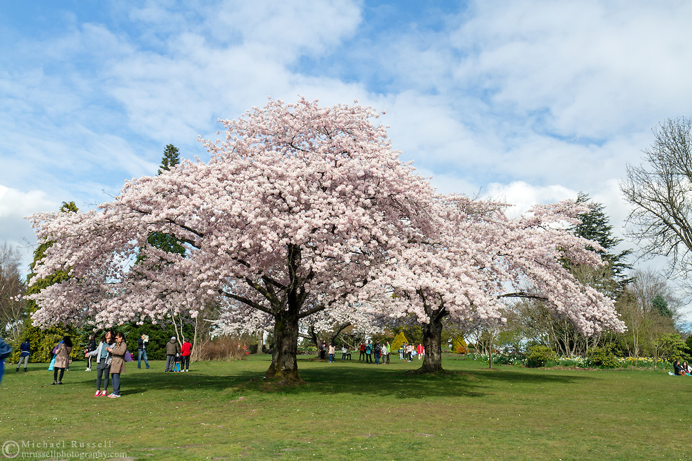 Tourists viewing the spring Akebono cherry tree blossoms in Queen Elizabeth Park in Vancouver, British Columbia, Canada