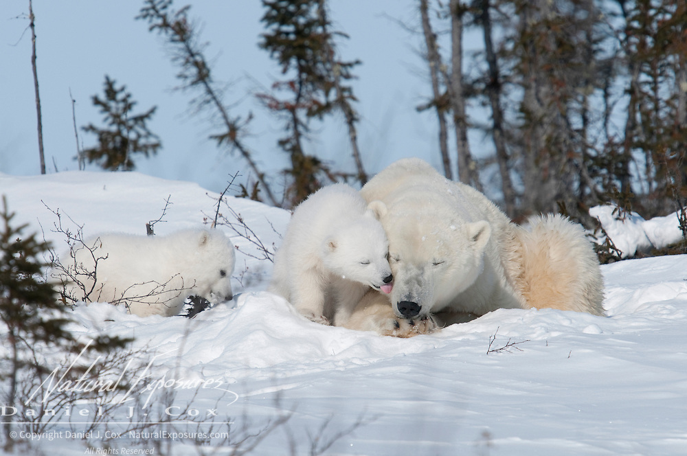 Polar Bear (Ursus maritimus) mother and cubs recently out of the den. Western Hudson Bay population of Manitoba, Canada