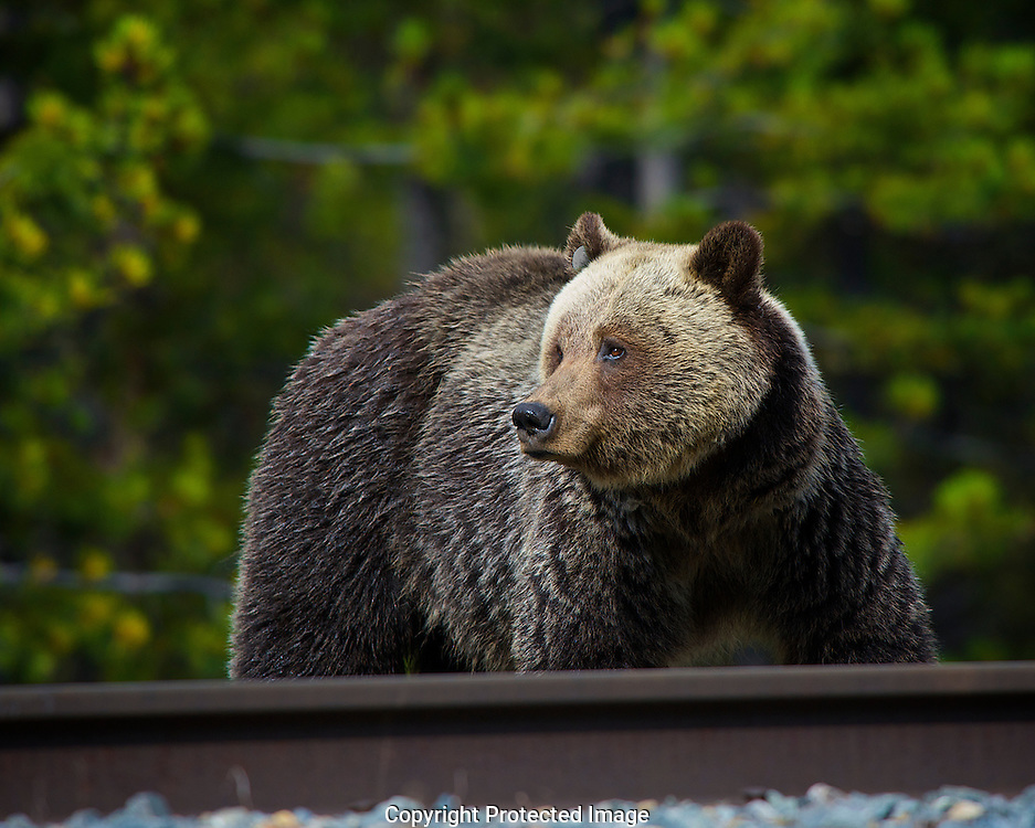 Grizzly Bear. Ursus arctos., British Columbia, canada,