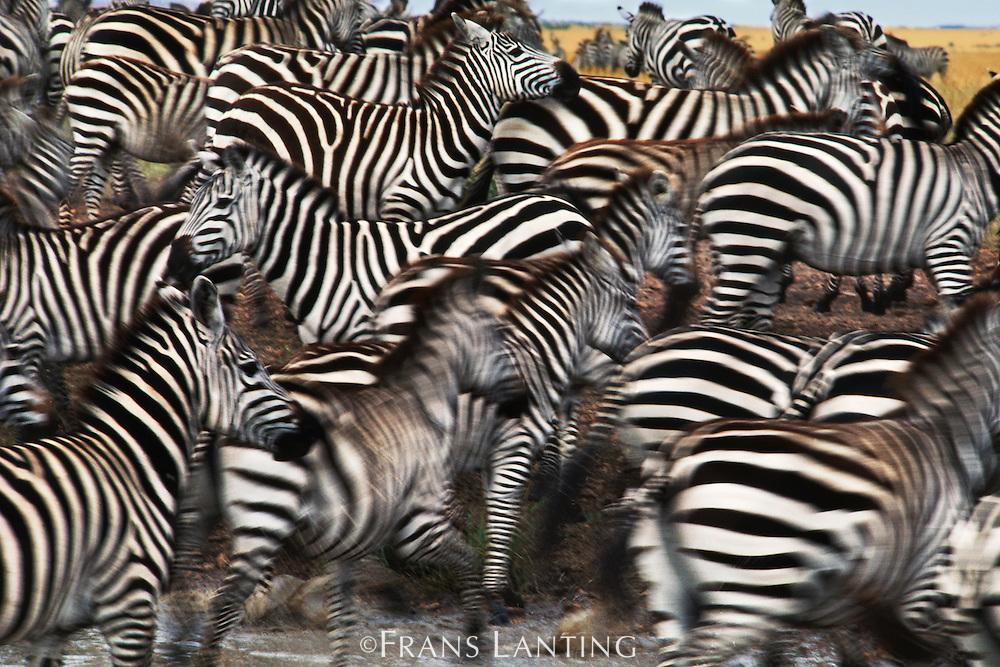 Zebras panicking at waterhole, Equus quagga, Masai Mara Reserve, Kenya