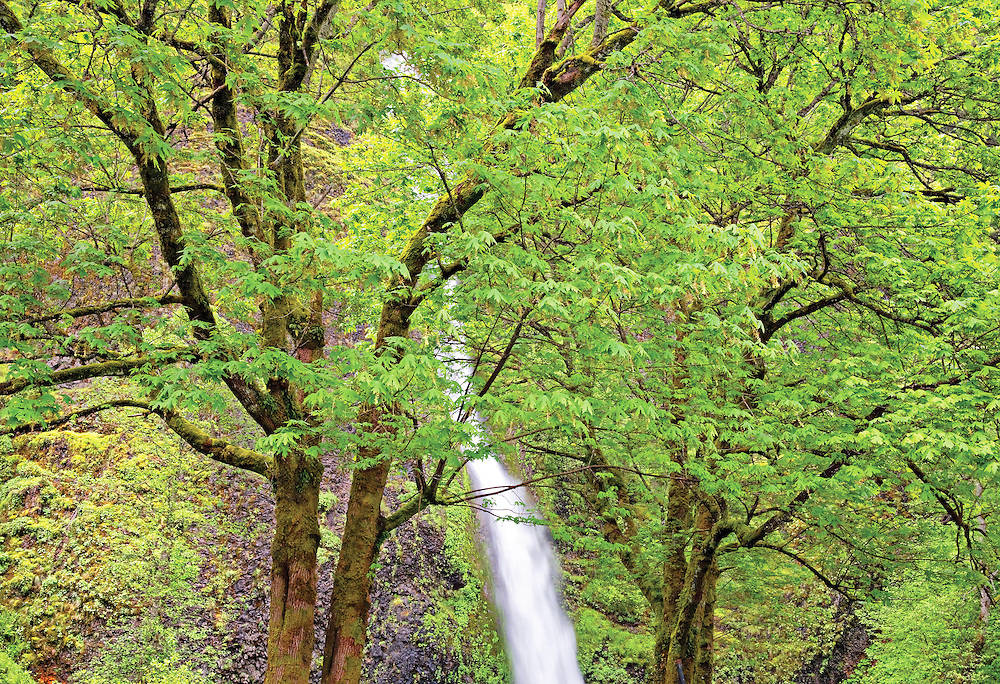 Ponytail Falls Seen Through Lush Early Spring Maple Trees, Columbia River Gorge, Oregon