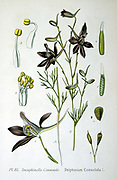 Forking Larkspur (Delphinium  consolida) The Annual Delphinium , blue flower of cornfields on chalky soils.  Now rare.  From Amedee Masclef 'Atlas des Plantes de France', Paris, 1893.