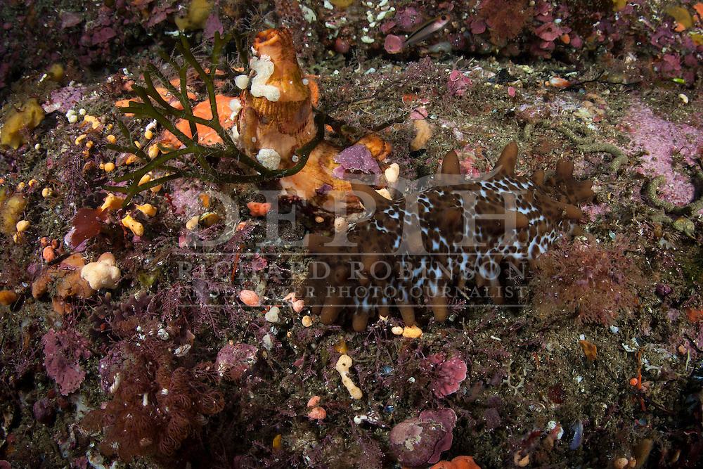 Stichopus molis (Sea cucumber).<br /> Saturday 05 April 2014<br /> Photograph Richard Robinson &copy; 2014<br /> Dive Number: 515<br /> Site: Porpoise Point, Bowen Channel, Dusky Sound, Fiordland.<br /> Boat: Tutoko<br /> Dive Ian Skipworth<br /> Time: 10:06<br /> Temperature:  14.8<br /> Rebreather: Inspiration Vision. Total Time On Unit: 317:53 hh:mm<br /> Maximum Depth: 30.6 meters<br /> Bottom Time: 125 minutes<br /> Mix: 21<br /> CNS: 50%<br /> OTU: 48%<br /> Bottom Time to Date: 34,804 minutes<br /> Cumulative Time: 34,929 minutes