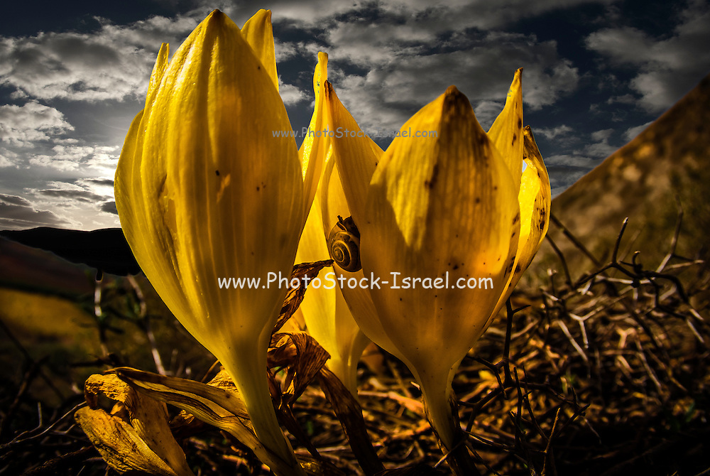 Sternbergia clusiana Fall Daffodil. This flower blooms for three weeks every year just after the first rains in November Photographed in Israel, sde Boker, Negev desert