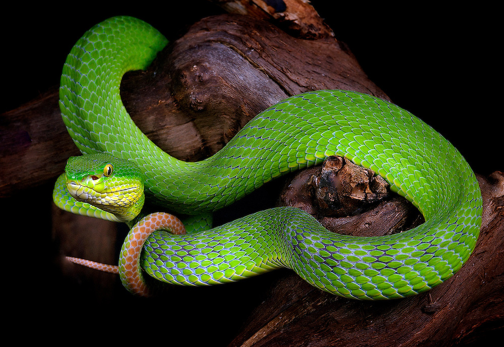 Pope's Tree Viper(Trimeresurus popeorum)