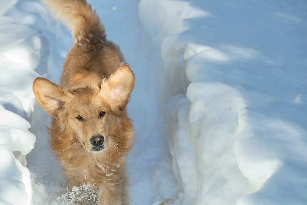 Golden retriever looking at camera in the snow
