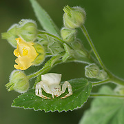 White Flower Crab Spider, Misumena sp. in Thailand.