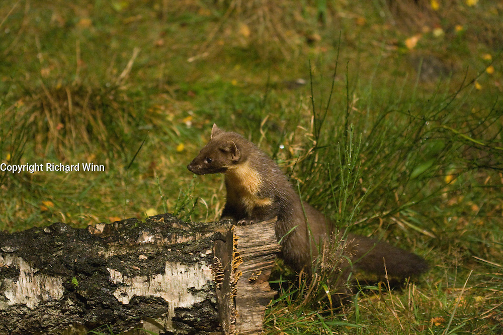 High ISO photograph of a Pine Marten at night under low artificial light.