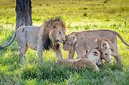 Lions, (Panthera leo) in Maasai Mara National Park, Kenya, Africa <br /> male is named Chongo